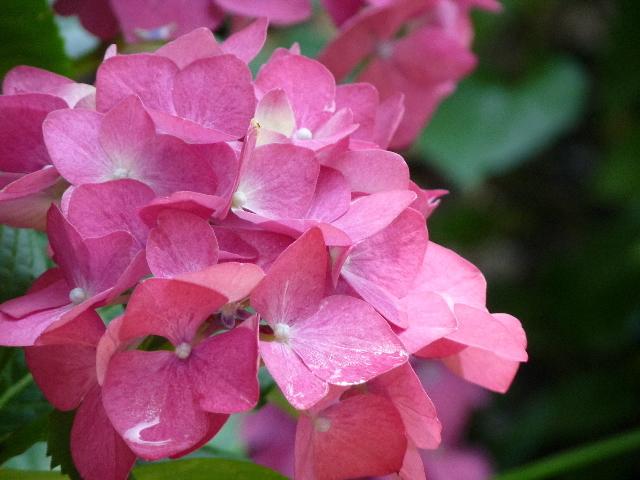 ピンくい紫陽花.JPG