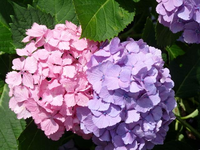 ピンクと紫.JPG